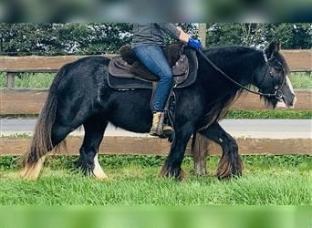 Gypsy Horse, Mare, 7 years, 12.2 hh, Black