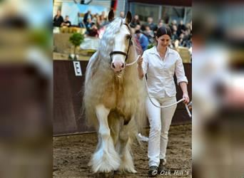 Gypsy Horse, Stallion, 1 year, 14.3 hh, Tobiano-all-colors