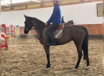 Hungarian Sport Horse, Mare, 3 years, 15.1 hh, Bay