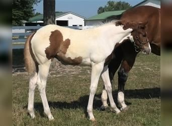 Paint Horse, Mare, 2 years, Tobiano-all-colors