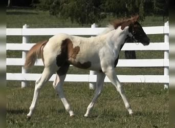 Paint Horse, Stute, 2 Jahre, Tobiano-alle-Farben