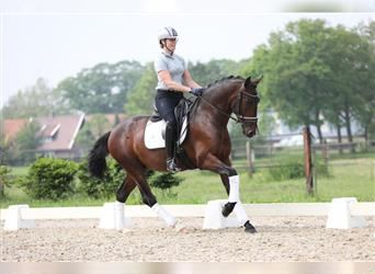 Andalusier, Hengst, 3 Jahre, 165 cm, Rotbrauner