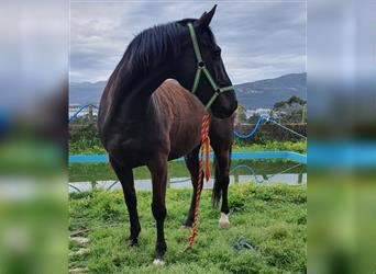 French Trotter, Gelding, 9 years, Black