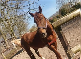 Portuguese Sport Horse, Mare, 9 years, 15.1 hh, Chestnut-Red