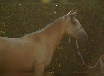 Andalusian, Mare, 2 years, 15.1 hh, Dun