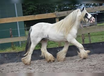 Gypsy Horse, Stallion, 8 years, 13.1 hh, Pinto
