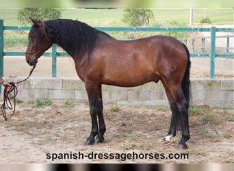 Andalusian Mix, Gelding, 5 years, 16.1 hh, Brown