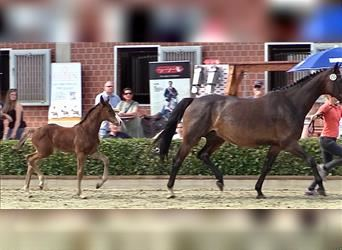 German Riding Horse, Mare, Foal (05/2021), 16.2 hh, Brown