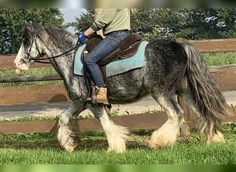 Gypsy Horse, Gelding, 8 years, 14 hh, Overo-all-colors
