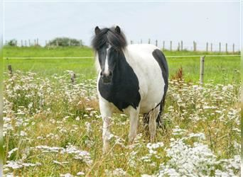 Icelandic Horse, Mare, 5 years, 13.2 hh, Pinto