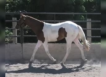Paint Horse, Hengst, 2 Jahre, Tobiano-alle-Farben