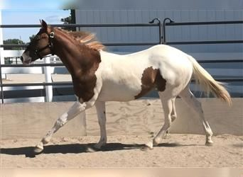 Paint Horse, Stallion, 2 years, Tobiano-all-colors