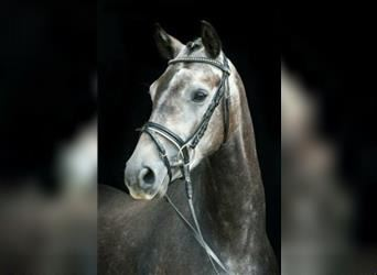 Small German riding horse, Gelding, 4 years, 15 hh, Can be white