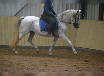 Other Breeds, Mare, 10 years, 14.3 hh, White