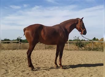 Andalusier, Hengst, 2 Jahre, 156 cm, Fuchs