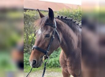 Welsh D (Cob) Mix, Mare, 5 years, 14 hh, Brown