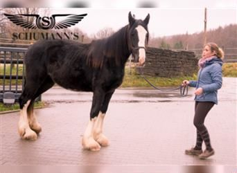 Shire Horse, Mare, 1 year, Black