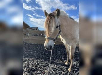 Fjord Horses, Mare, 11 years, 13.3 hh, Dun