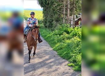 Other Warmbloods, Mare, 7 years, 15.2 hh, Brown