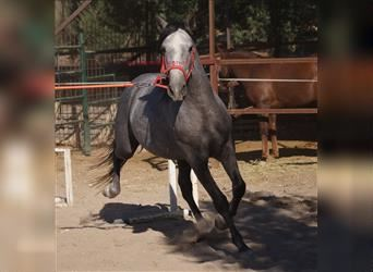 Andalusian, Gelding, 4 years, 15 hh, Gray