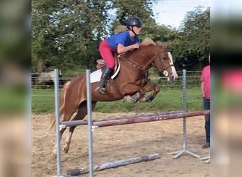 French riding pony, Mare, 6 years, 13.3 hh, Chestnut-Red