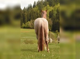 Quarter Horse, Mare, 3 years, 13.2 hh, Roan-Red