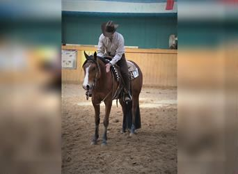 Paint Horse, Gelding, 6 years, 16 hh, Brown