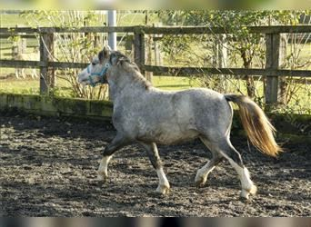Welsh A (Mountain Pony), Stallion, 2 years, 11.2 hh, Gray