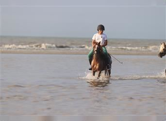 Andalusian, Mare, 16 years, 11.2 hh, Sorrel