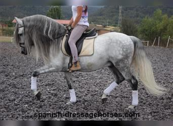 Andalusian Mix, Stallion, 9 years, 15.2 hh, Gray