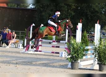 German Riding Pony, Mare, 11 years, 13.3 hh, Brown