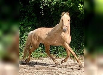 Andalusier Mix, Wallach, 5 Jahre, 161 cm, Palomino