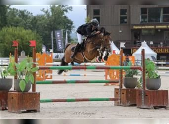 French riding pony, Gelding, 9 years, 14.1 hh, Brown