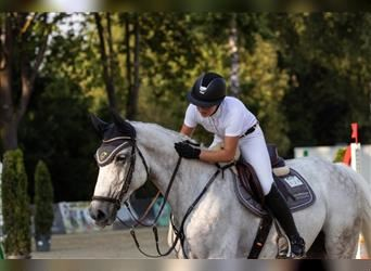 Holstein, Mare, 11 years, 16.1 hh, Gray-Blue-Tan