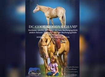 American Quarter Horse, Stallion, 11 years, 14.3 hh, Champagne
