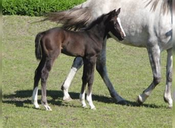 Hanoverian, Mare, Foal (05/2021), 16.1 hh, Can be white