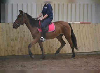 Other Breeds, Mare, 5 years, 14 hh, Brown