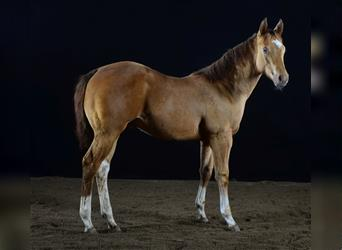 Paint Horse, Stallion, Foal (05/2021), 15 hh, Tobiano-all-colors