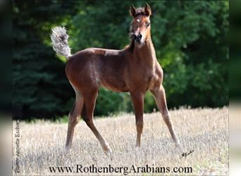 Straight Egyptian, Mare, Foal (01/2021), 15.1 hh, Black