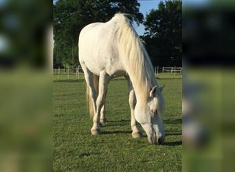 Small German riding horse Mix, Gelding, 18 years, 15 hh, Gray