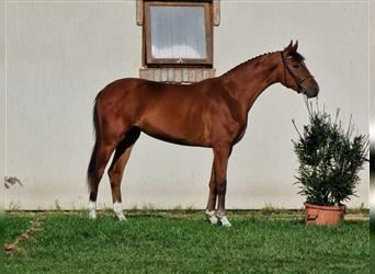 Hungarian Sport Horse, Mare, 3 years, 16.2 hh, Bay