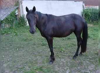 Rocky Mountain Horse, Mare, 4 years, 14.1 hh, Smoky-Black