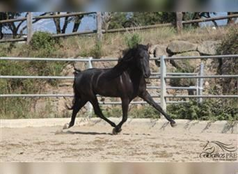 Andalusier, Hengst, 4 Jahre, 170 cm, Rappe