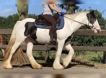 Gypsy Horse, Mare, 3 years, 14.1 hh, Pinto