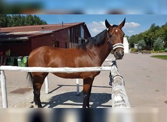 Hungarian Sport Horse, Mare, 13 years, 15.1 hh, Bay