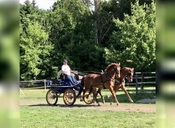 Hungarian Sport Horse, Gelding, 9 years, 16.2 hh, Chestnut-Red