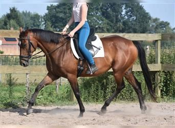 Other Breeds, Mare, 9 years, 15 hh, Brown
