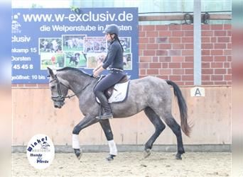 Other Warmbloods, Gelding, 3 years, 15.1 hh, Gray-Red-Tan