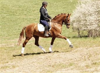 Other Warmbloods, Mare, 6 years, 15.2 hh, Chestnut-Red
