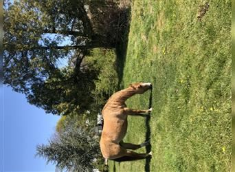 Quarter Horse, Mare, 9 years, 15.1 hh, Red Dun